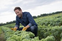 Man inspecting crops of curly green vegetable plants growing on organic farm. — Stock Photo