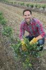 Hombre examinar arbustos de arándano en campo, en huerto de frutas orgánicas. - foto de stock