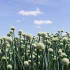 Field of crops of blooming Walla Walla sweet onions — Stock Photo