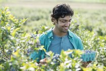 Young man picking fresh blueberries from organic plants in field. — Stock Photo