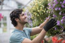 Молодой человек, работающий в теплице, полной цветущих растений . — стоковое фото