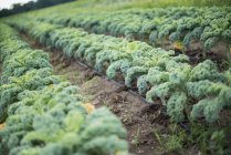 Rows of curly green vegetable plants growing on organic farm. — Stock Photo