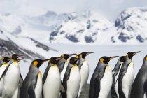 Король пінгвінів в берега на острові Південна Джорджія. — стокове фото