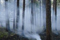 Fumée et arbres brûlés après un incendie maîtrisé dans une forêt de conifères . — Photo de stock