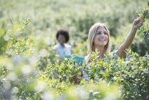 Young women picking fresh blueberries from organic plants in field. — Stock Photo