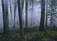Дым и сжигали деревья после контролируемой пожара в хвойном лесу — стоковое фото