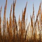 Nahaufnahme der windgepeitschten Dünengras auf natürliche Wiese — Stockfoto
