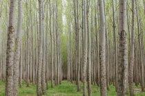 Plantación de álamo, vivero de árboles creciendo árboles rectos con corteza blanca en Oregon, Estados Unidos - foto de stock