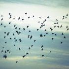 Manada de estorninos volando a través del cielo azul nublado . - foto de stock