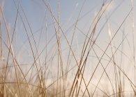 Primo piano dell'erba di dune spazzate dal vento in prato naturale. — Foto stock