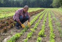 Афроамериканець людиною, робота з Саджанці в комерційних саду — стокове фото