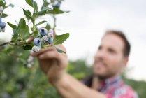 Hombre recogiendo arándanos frescos en huerto de frutas orgánicas . - foto de stock
