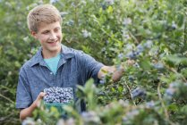 Pre-adolescent boy picking blueberries from bushes at organic farm. — Stock Photo