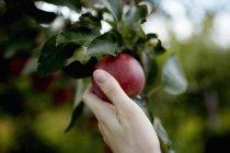 Рука збір червоний стиглі apple з плодів дерева. — стокове фото