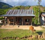Casa com vaca no campo vietnamita — Fotografia de Stock