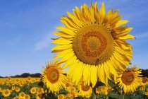 Close-up of sunflowers in field, South Dakota, United States — Stock Photo