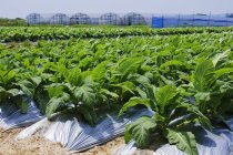 Rows of tobacco plants growing in farm in Japan — Stock Photo
