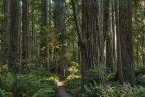Trees growing in state park forest, California, United States — Stock Photo