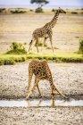Жираф изгиб во время питья в водоеме в Африке — стоковое фото