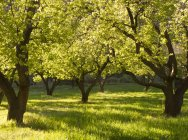 Trees in grassy orchard, Capital Reef National Park, Utah, United States — Stock Photo