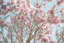 Vue à angle bas des branches d'arbres à fleurs roses . — Photo de stock
