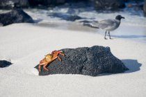 Crab crawling on beach rock with seagull walking on sand in background — Stock Photo