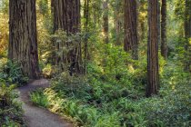 Dirt path in forest with trees and green plants in sunlight. — Stock Photo