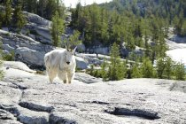Mountain goat standing on rocky hillside in North America — Stock Photo
