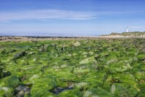 Algae covering rocks at beach, Waipapa, Catlins, New Zealand — Stock Photo
