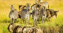 Zebras and wildebeests standing in grass in Kenya, Africa — Fotografia de Stock
