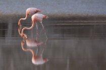 Flamingos auf Nahrungssuche, während sie im stillen Wasser des Sees reflektieren — Stockfoto