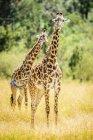 Жирафы ходить в луга саванны пейзаж Кении — стоковое фото