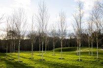 Jardin au printemps avec bouleaux blancs à troncs pâles en herbe à Amersham, Buckinghamshire, Angleterre — Photo de stock