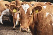 Крупный план коровы, смотрящей в камеру, и стада пиебальдовых красно-белых коров Гернси в ручке . — стоковое фото