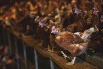 Gran bandada de gallinas marrones en el granero de pollo en la granja. - foto de stock