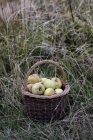 Plan rapproché des pommes fraîchement cueillies dans le panier brun d'osier sur l'herbe grande. — Photo de stock