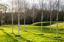 Jardín en primavera con abedules blancos con troncos pálidos en hierba en Amersham, Buckinghamshire, Inglaterra - foto de stock
