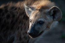 Geflecktes Hyänenjunges in Afrika, Nahaufnahme Porträt — Stockfoto