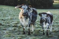 Englische Langhorn-Kuh und Kalb stehen auf der grünen Weide. — Stockfoto