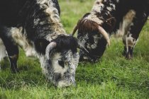 Close-up of two English Longhorn cows grazing on grassy pasture. — Stock Photo