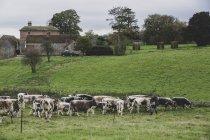 Стадо английских лонгхорнских коров пасущихся на травянистых пастбищах . — стоковое фото