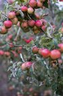 Apple tree in organic orchard garden in autumn with red fruit on branches — стоковое фото