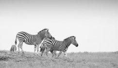 Mandria di zebre che camminano lungo il pendio con cielo limpido in bianco e nero — Foto stock
