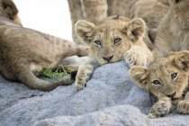 Lion cubs lying together on termite mound in Africa. - foto de stock