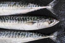 High angle close-up of three fresh mackerel fish. — Stock Photo