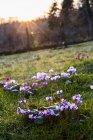Jardín en primavera con primer plano de los ciclámenes que florecen en la hierba en Amersham, Buckinghamshire, Inglaterra - foto de stock