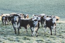 Herd of English Longhorn cows standing on pasture, looking in camera. — Photo de stock
