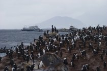 Colony of cormorant birds on island in Beagle Channel in Ushuaia, Argentina. — Stock Photo