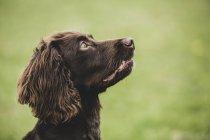 Крупный план коричневого спаниеля собака сидит в зеленом поле, глядя вверх . — стоковое фото