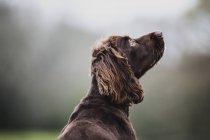 Задний вид коричневого спаниеля собака сидит в поле, глядя в сторону . — стоковое фото